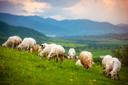Herd of sheeps in mountains on Georgia, Caucasus 스톡 콘텐츠