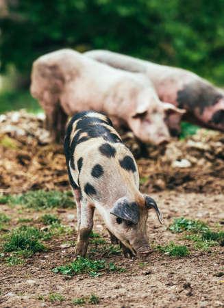 3 little pigs: Three little pigs on farm yard