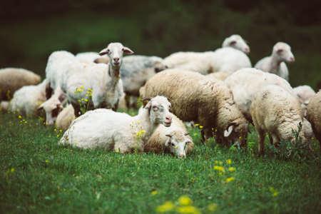 Rebaño de ovejas y cabras en las montañas de Georgia, el Cáucaso. Foto virada Foto de archivo - 40624163
