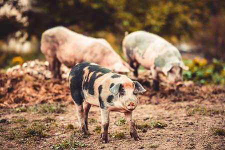 cerdos: Tres pequeños cerdos en patio de la granja. Foto virada Foto de archivo