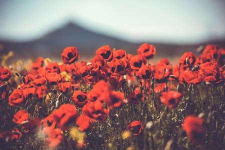 campo de flores: Campo de flores silvestres de amapola. cuadro entonado