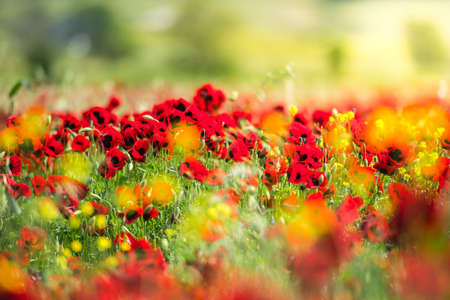 Field of wild poppy flowers. Selective focus and shallow DOF photo