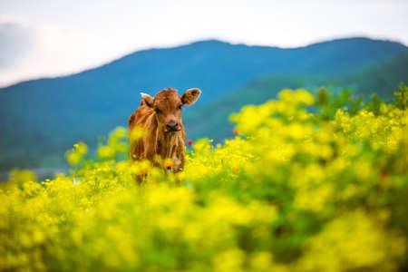 Pequeño becerro en las montañas de Georgia, el Cáucaso Foto de archivo - 40624466