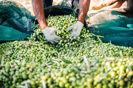 Harvesting olives in Sicily village, Italy Stockfoto
