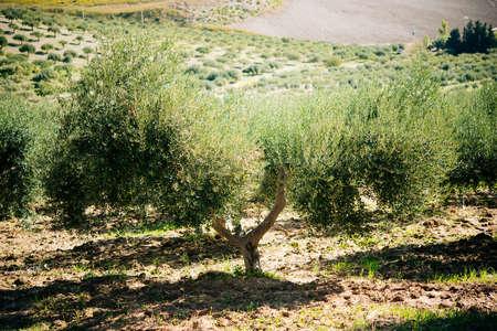 Harvesting olives in Sicily village, Italy Stock Photo