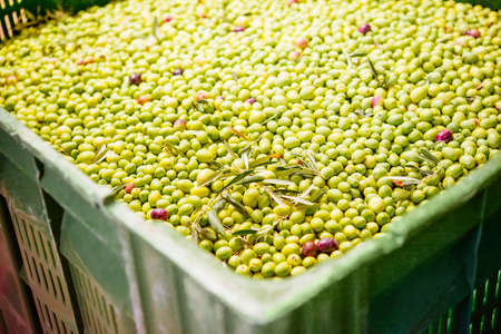 olive farm: Box of olives at a cold-press factory after the olive harvesting in one of the sicilian villages.