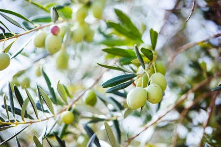 olivo arbol: Aceitunas de cosecha en el pueblo de Sicilia, Italia Foto de archivo