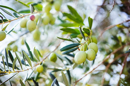 Oogsten van olijven in Sicilië dorp, Italië Stockfoto