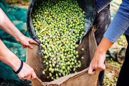 Raccolta delle olive nel villaggio della Sicilia, Italia