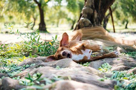 Hund liegend unter den Olivenbäumen während Oliven in Sizilien Dorf Ernte, Italien