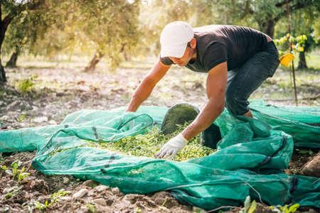 Harvesting olives in Sicily village, Italy Editorial