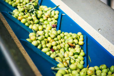 caltabellotta: Olives are being processed  at the cold-press factory in one of the sicilian villages, Italy Stock Photo
