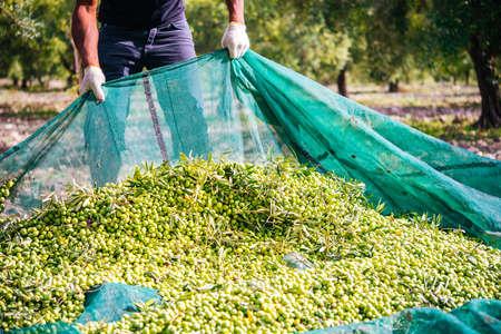 Ernte der Oliven in Sizilien Dorf, Italien
