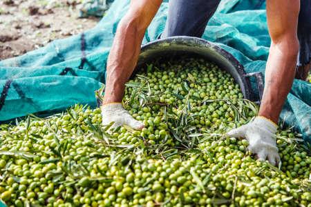 hoja de olivo: Aceitunas de cosecha en el pueblo de Sicilia, Italia Foto de archivo