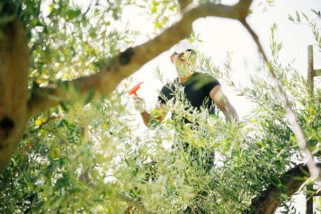 sicilian: Harvesting olives in Sicily village, Italy Stock Photo