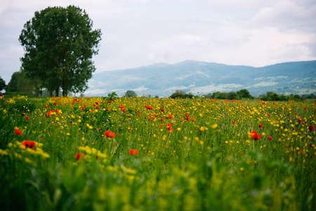 pink skies: Field of wild poppy flowers in Georgia, Caucasus Stock Photo