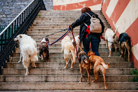 Lady walking with a bunch of dogs in the old city of Genoa in Liguria region, Italy. Stock Photo