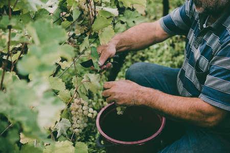 Een landbouwer oogst druiven in een wijngaard in Kakheti-gebied, Georgië. Getinte foto Stockfoto - 83824629
