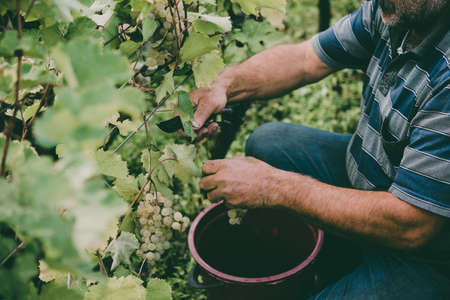 A farmer is harvesting grapes in a vineyard in Kakheti region, Georgia. Toned picture Archivio Fotografico