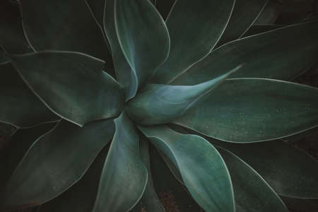 Green agave leaves. Low key modern style toned background image 写真素材