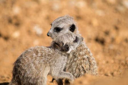Baby suricate meerkat Stock Photo