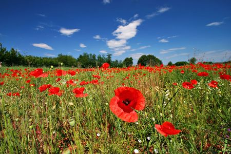 Poppy flower field on perfect sunny day