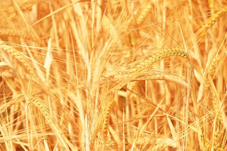 Fantastic Golden Wheat Details