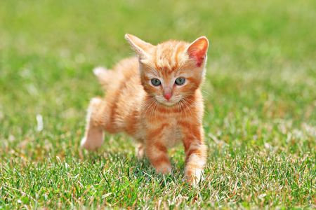 Cute Lovely Young Cat Running On Green Grass