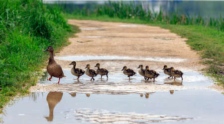 pond: A duck and with ducklings crossing a path Stock Photo
