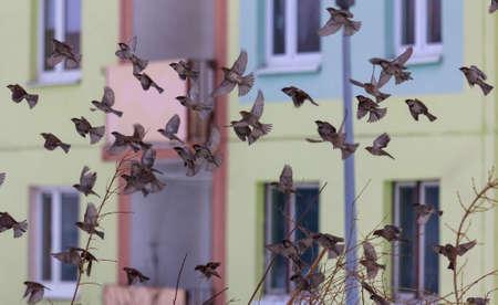 飛行中のスズメの群れ
