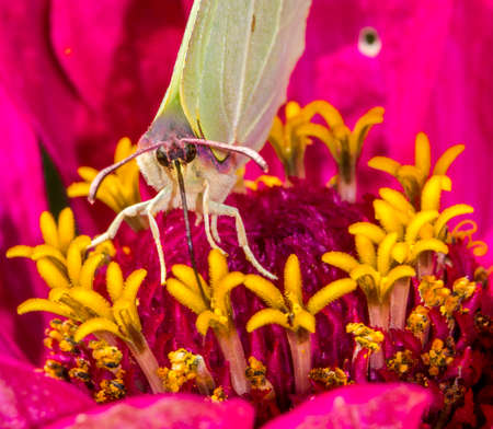 a yellow butterfly drinking from a flower macro photo photo