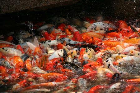 bassin jardin: Une photo de l'essaim de poissons de la carpe koi prises au moment de l'alimentation dans un �tang de jardin de Chine