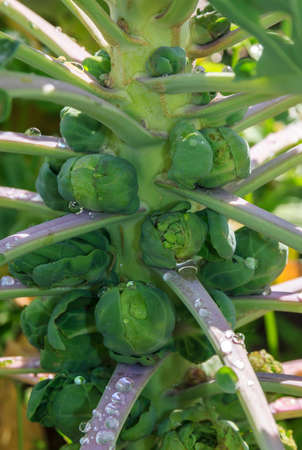 A photo of brussels sprouts growing from the stalk 免版税图像