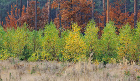 yeloow: Composition presents three horizontal layers of colourful autumn vegetation - a patch of yellow grass, a patch of green young birches and a patch of higher trees with red autumn foliage  Stock Photo