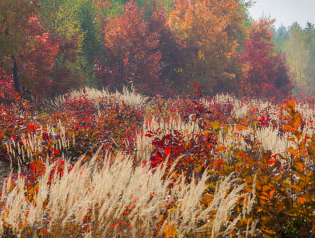 yeloow: Composition of colourful autumn vegetations  In the foreground meadow with yellow grass and red young oaks, in the background colourful foliage of various trees in the forest  Stock Photo