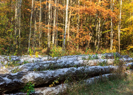 yeloow: In the foreground big logs of birches, hewn by woodcutters are lying on the forest floor  In the background there is a forest of young birches  Stock Photo