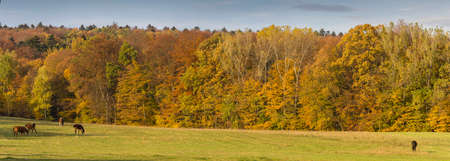 Autumn Landscape  In the foreground meadow with four sihouettes of horses grazing, in the background wall of beautifully coloured autumn trees  photo