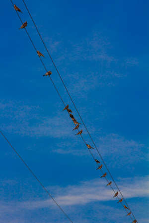 Flock of birds is sitting on electric wires photo