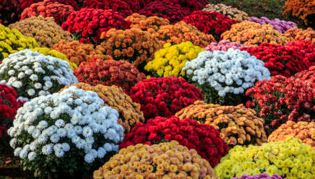 orenge: Chrysanthemums of various colors, standing close to each other in pots  Stock Photo