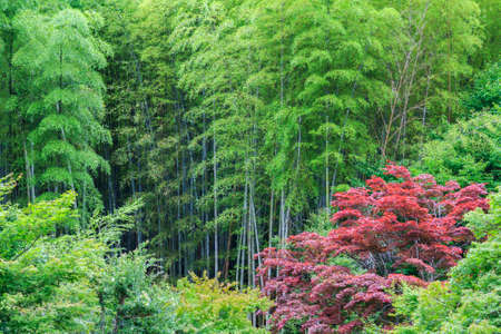 Intensely red acer growing in the midst of green bamboo forest Stock Photo - 24061481