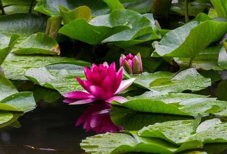 bassin jardin: N�nuphars rouges sur la surface d'un �tang de jardin Banque d'images