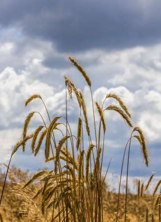 Several corn ears and stalks growing in the field with clouds and sky in background Stock Photo - 24210186