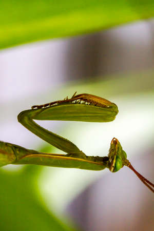 immobile: Close-up photo of an immobile green  praying mantis in wait for a pray