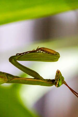 immobile: Fotos de primer plano de una mantis verde inm�vil rezando a la espera de una oraci�n