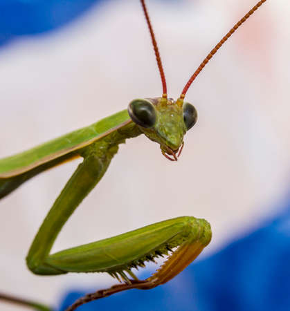 the antennae: Close-up photo of a green  praying mantis from the front with head, antennae and prickly front legs