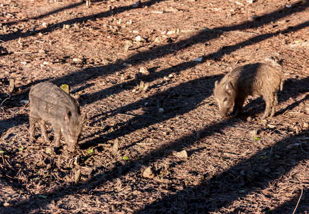 piglets: Wild boar piglets against the background of forest floor Stock Photo