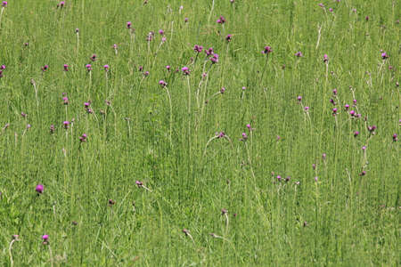 equisetum: Field of horse-tail - equisetum - and violet flowers Stock Photo