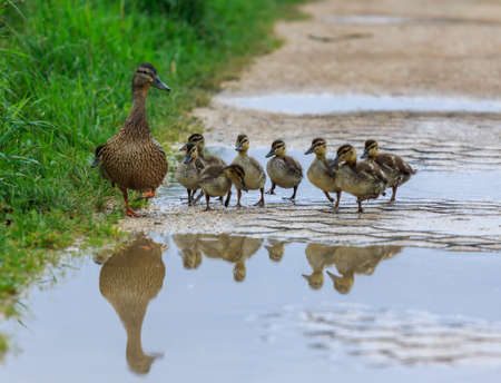 Duck and ducklings on a path, reflected in a pool of water