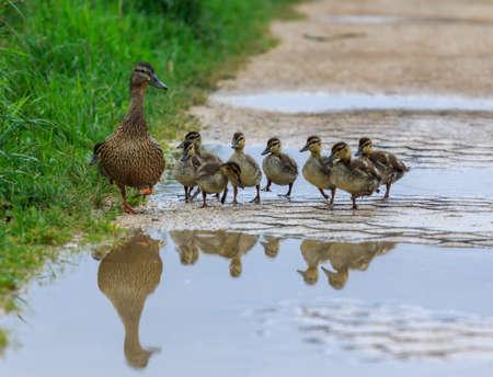Eend en eendjes op een pad, weerspiegeld in een plas water