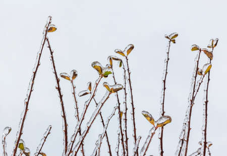 Group of twigs with leaves covered engulfed with deep layer of ice in winter photo